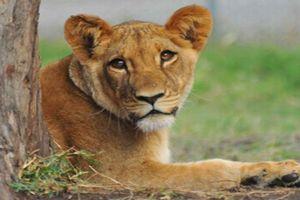 lion004